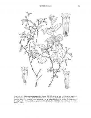 Wikstroemia canescens Wall. ex Meisn. © Flora of China