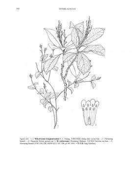 Wikstroemia trichotoma (Thunb.) Makino © Flora of China