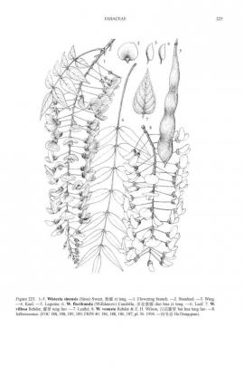 Wisteria floribunda (willd.) DC © Flora of China